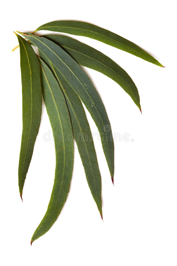 Gum Leaves. Isolated on a white background. These are the delicate leaves of the eucalyptus nicolaii stock images