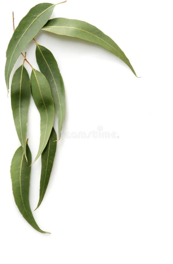 Free Gum Leaves Stock Image - 2400391