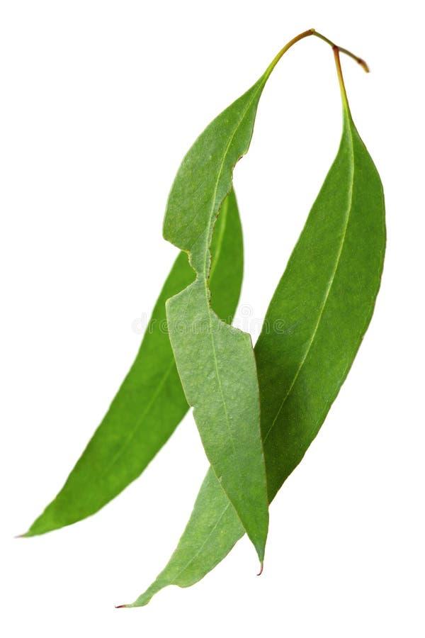 Gum Leaves stock image