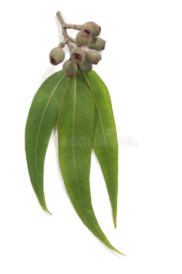 Free Gum Leaves And Gum Nuts Royalty Free Stock Photography - 7481267
