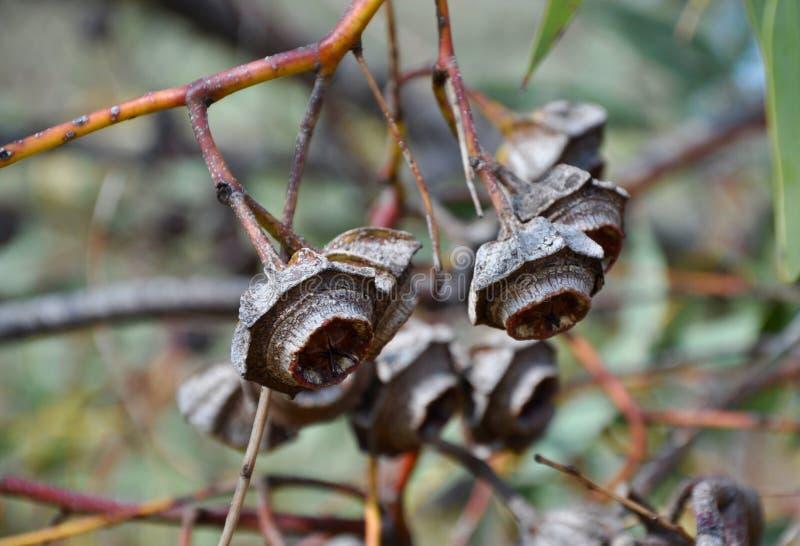 Gum Nuts: King's Park, Western Australia royalty free stock photos