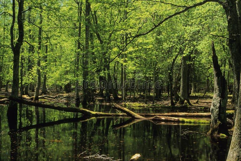 Gum Swamp stock image