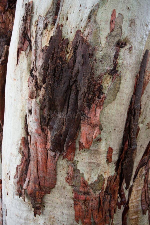 Gum tree bark royalty free stock image