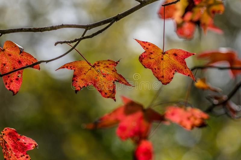 Gum tree leaves in autumn. Colorful bright vibrant autumn colors in back lit sweet gum leaves hanging from the branches closeup stock image