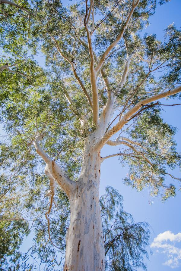 Gum tree on a sunny day with a beautiful blue sky. Looking up into a lone gum tree with it`s beautiful white bark and bright green leaves against the rich blue stock image
