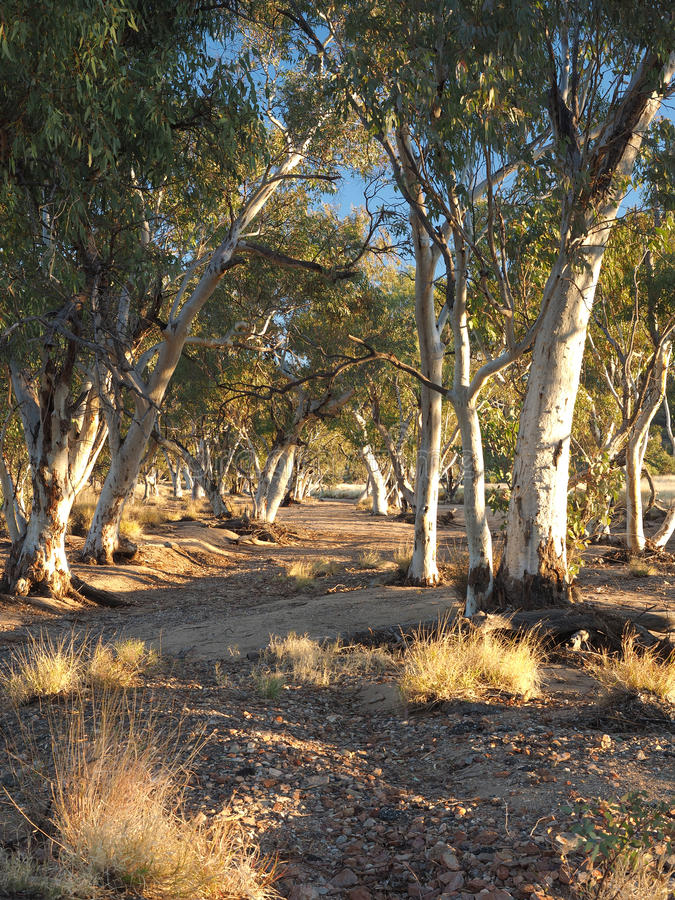 Gum trees in the dry Roe creek river bed. In the late afternoon near Simpsons Gap in the McDonnell Ranges, Alice Springs, Australia, June 2015 stock photos