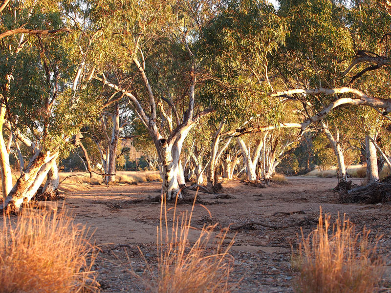 Gum trees in the dry Roe creek river bed in the late afternoon. Near Simpsons Gap in the McDonnell Ranges, Alice Springs, Australia, June 2015 royalty free stock photography