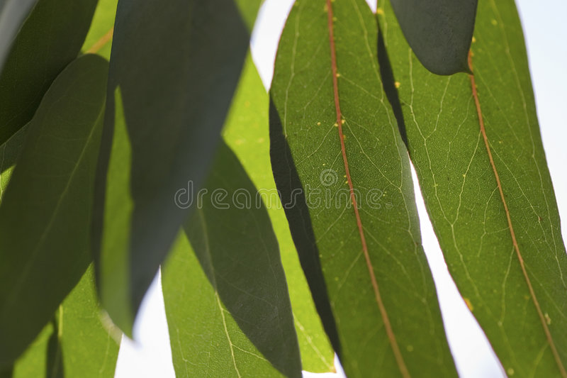 guma liście fotografia stock