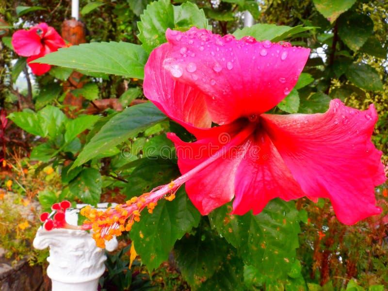 Gumamela húmeda después de la lluvia fotos de archivo libres de regalías