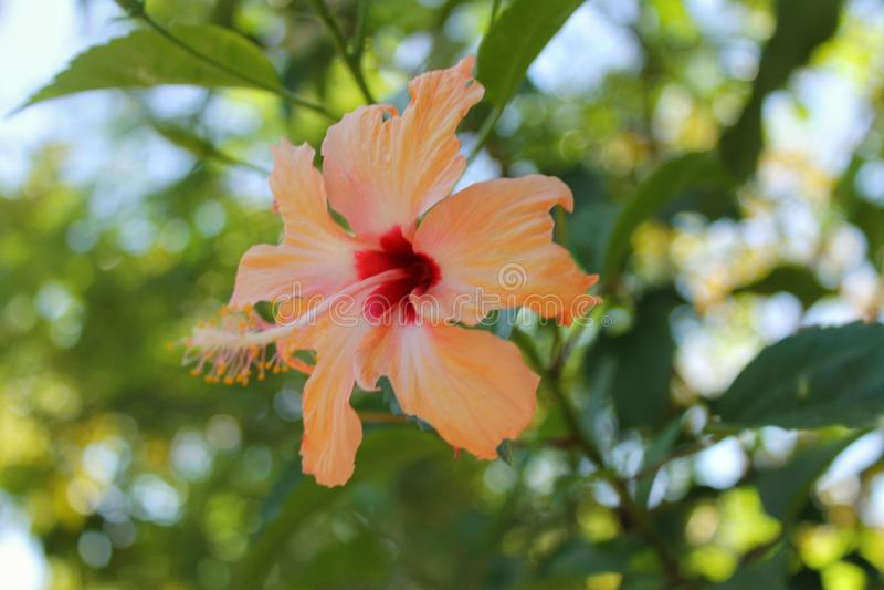 Gumamela kwiat obrazy stock