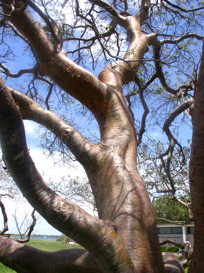 Gumbo-Limbo Tree. In southwestern Florida, known as the ourist tree because the red bark peels just as tourists skin does when out in the sun too long stock image