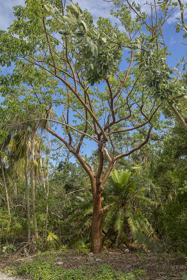 Gumbo Limbo Tree. A red, tropical Gumbo Limbo tree in a nature park in Florida stock photos