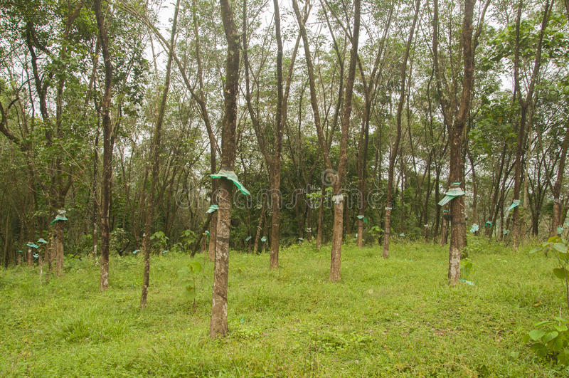 Gummi trees lizenzfreie stockbilder