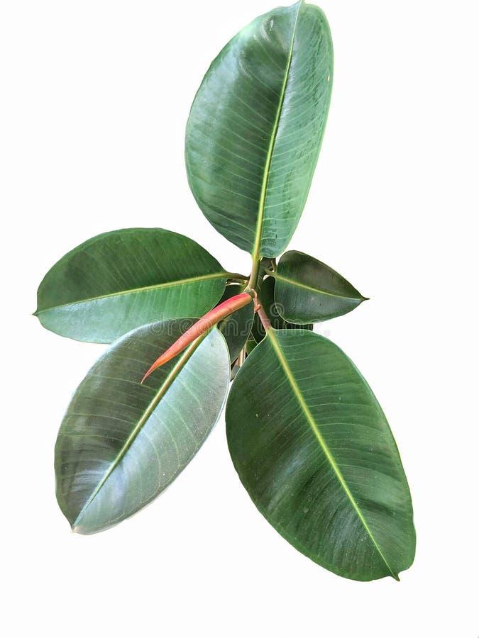 Gummianlage oder Ficus elastica lizenzfreie stockfotos