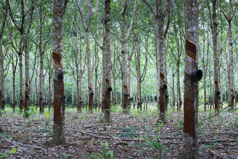 Gummibaum in der Gummibaumplantage lizenzfreie stockfotografie