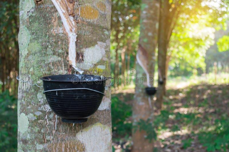 Gummibaum und Schüssel gefüllt mit Latex im Garten stockbild