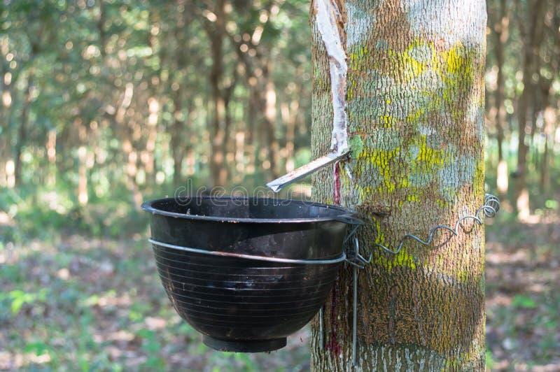 Gummibaum und Schüssel gefüllt mit Latex im Garten stockfotos