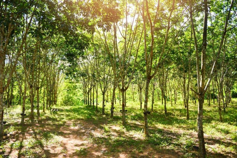 Gummikoloni med gummiträdskogen i jordbruk av asia den naturliga latexet arkivfoto