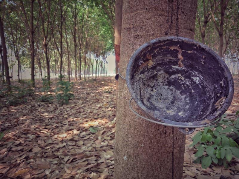 Gummiträd och bunke bonde som brukar i Thailand royaltyfria foton