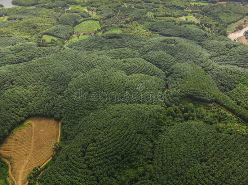 gummiträdbransch på berget i Thailand arkivbild