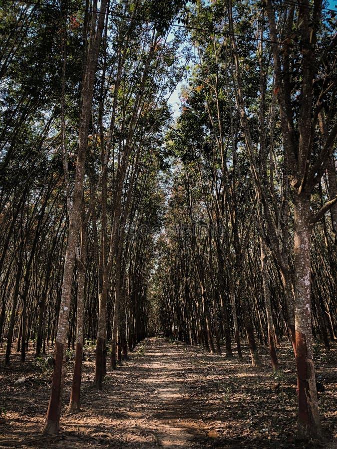 Gummiträdlantbruk och kolonijordbruk arkivfoton