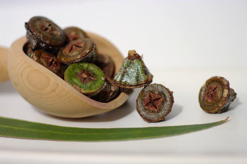 Gumnuts - fruta del árbol de eucalipto australiano imágenes de archivo libres de regalías