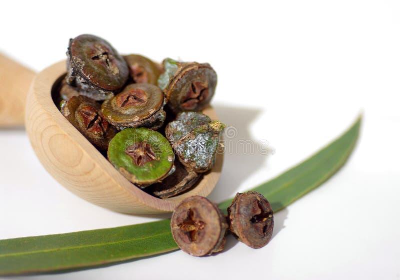 Gumnuts - fruta del árbol de eucalipto australiano foto de archivo