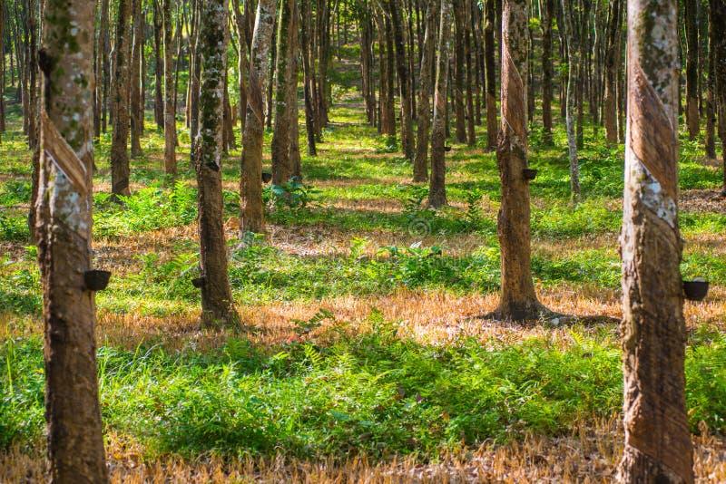 Gumowe plantacje zdjęcie royalty free