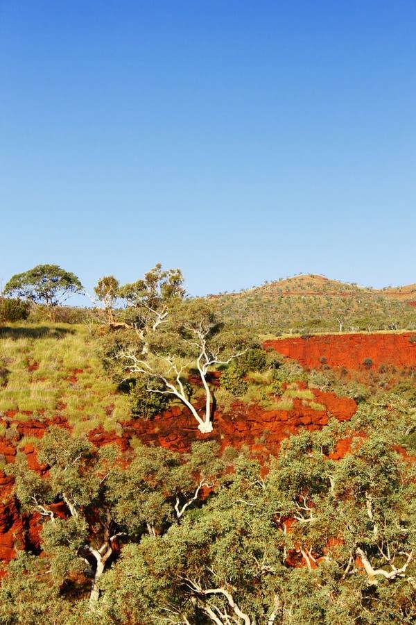 Gumowego drzewa dorośnięcie na stronie skała, jar, zachodnia australia zdjęcie royalty free