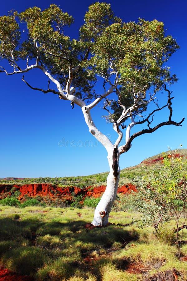 Gumowego drzewa dorośnięcie w Australijskim odludziu obrazy royalty free