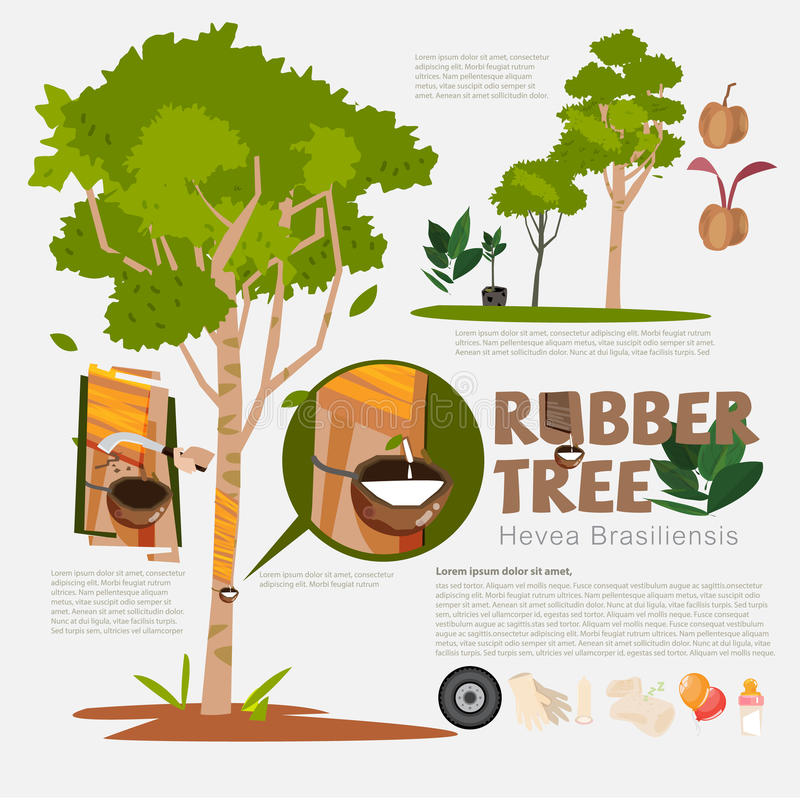 Gumowy drzewo lub Hevea brasiliensis z szczegółów infographic elemen ilustracji