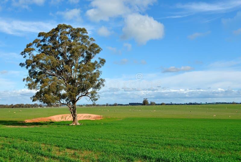 Gumowy drzewo w padoku na gospodarstwie rolnym w Wiktoria, Australia obraz stock
