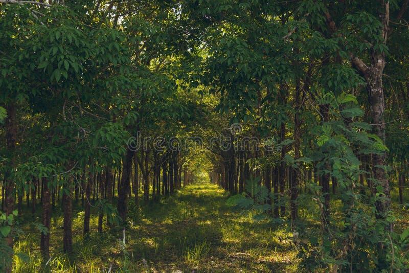 Gumowy las w Tajlandia, Phuket Plantacja drzewa r z rz?du fotografia stock