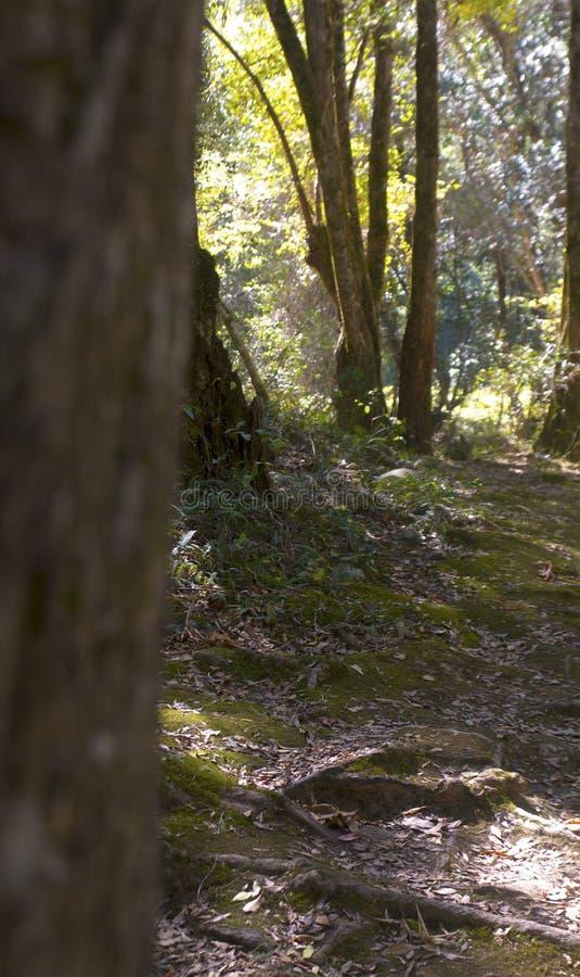 Gumtree skog arkivfoton
