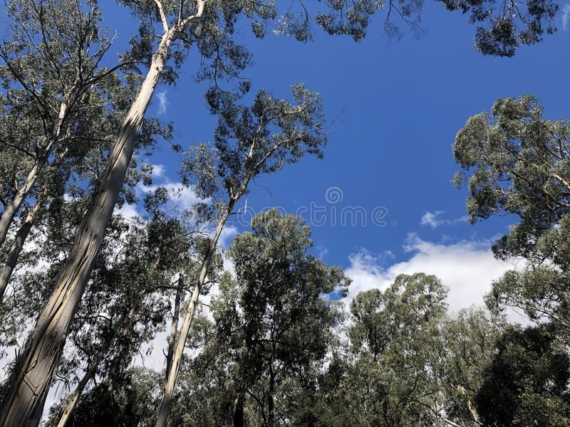 Gumtrees sur un ciel bleu photo libre de droits
