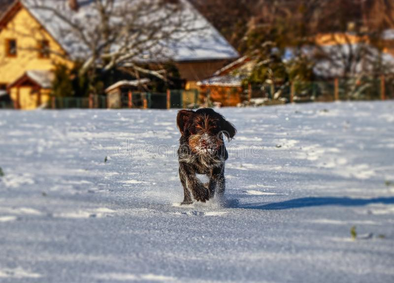 A gun dog, Cesky fousek, is running across frozen meadow for her victims. A brown dog furiously running to me.  stock images