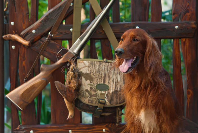 Gun Dog Near To Shot-gun And Trophy, Outdoors Royalty Free Stock Images