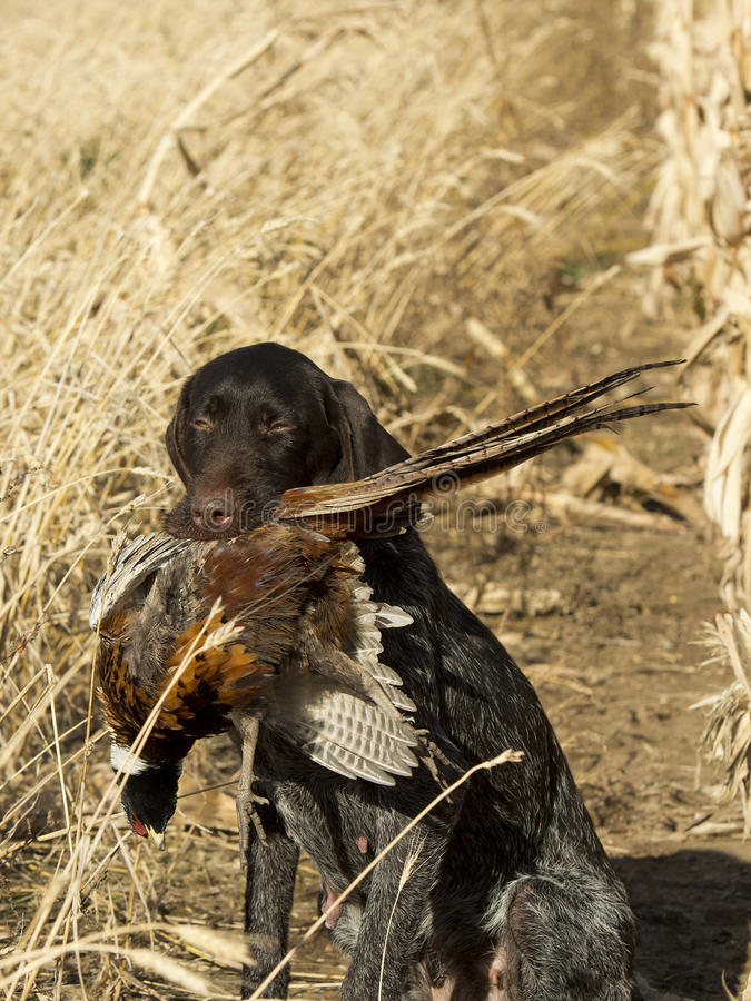 Gun Dog with a Pheasant. A Gun dog with a Rooster Pheasant royalty free stock photos