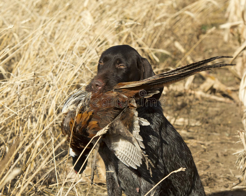 Gun Dog with a Pheasant. A Gun dog with a Rooster Pheasant in North Dakota stock photo
