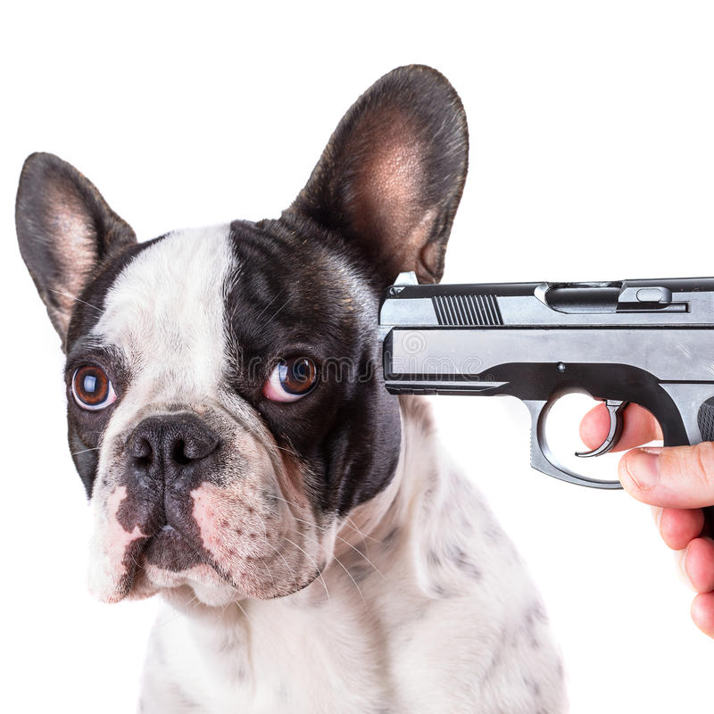 Gun pointed at sad french bulldog head. Over white background stock images