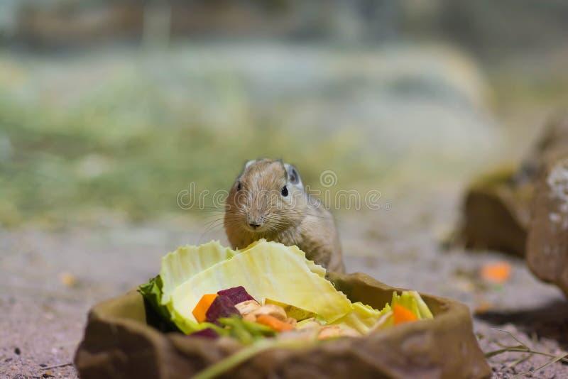 Gundis ест поднимающее вверх овоща близкое стоковое изображение