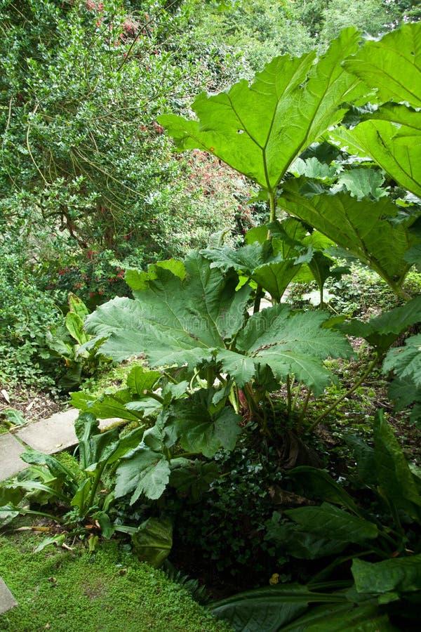 Download Gunnera manicata stockfoto. Bild von baum, garten, vegetation - 26361326