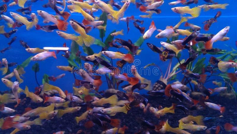 Guppie akwarium obraz stock