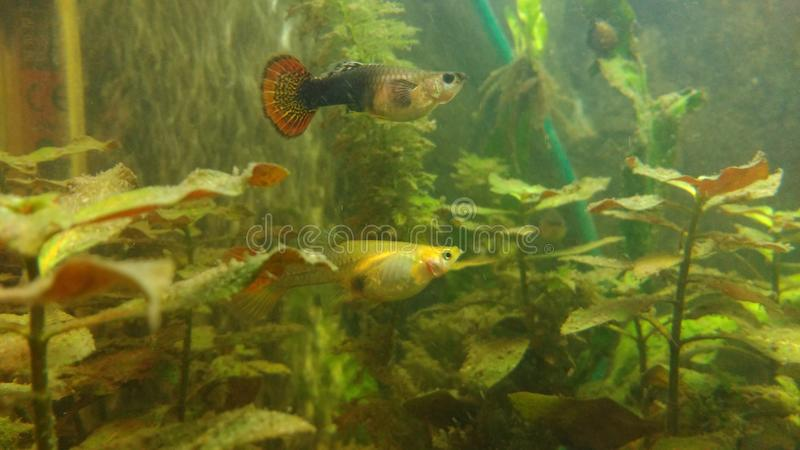 Guppie royalty free stock images