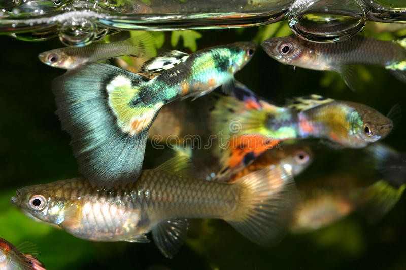 Guppies in the fish tank stock photos