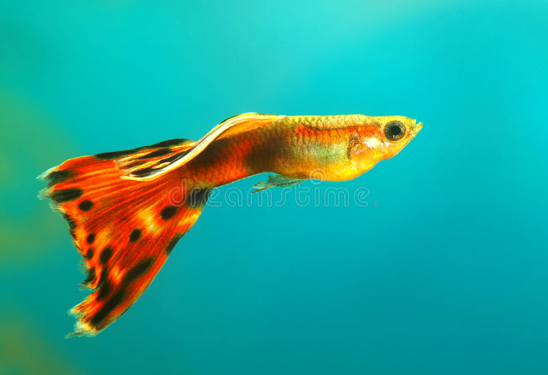 Guppy royalty free stock images