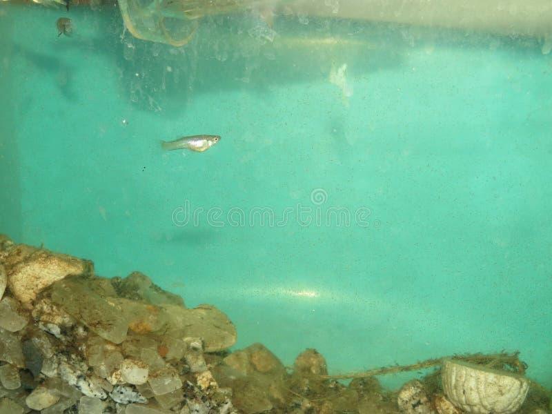 Guppy babyfish femaleguppy Aquarium-Wasserbehälter lizenzfreie stockfotografie
