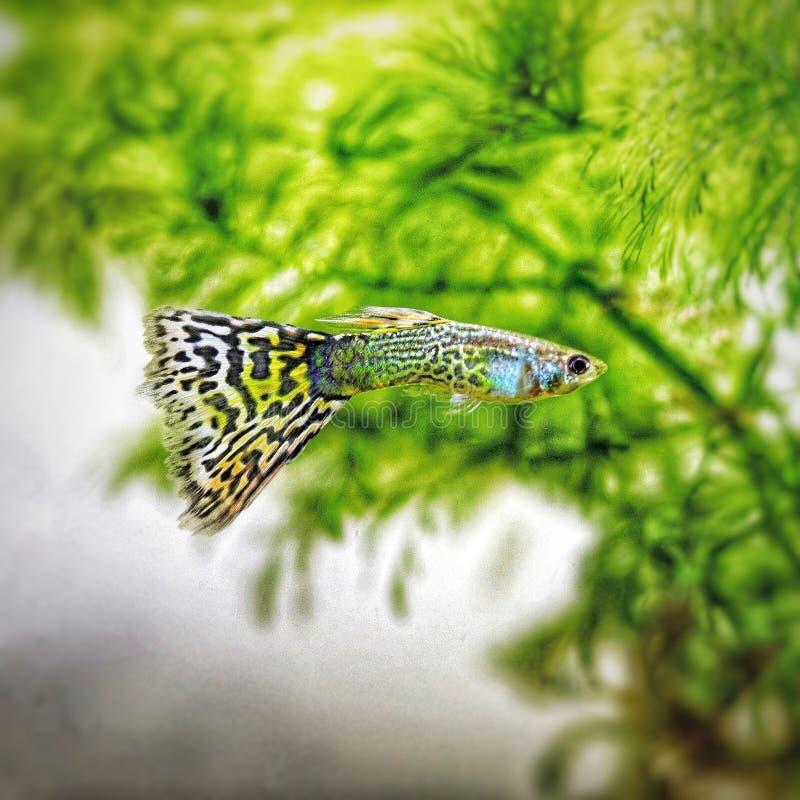 Guppy color fish stock photos
