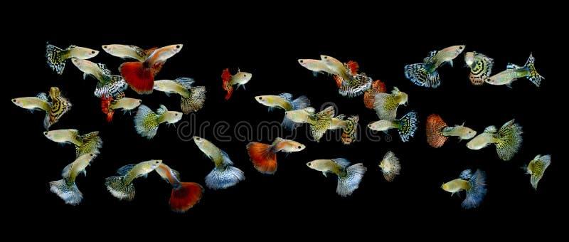 Guppy de poissons d'isolement sur le fond noir photo stock