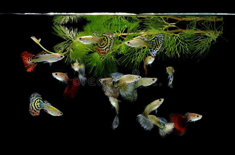 Guppy de poissons sur le fond noir photo libre de droits